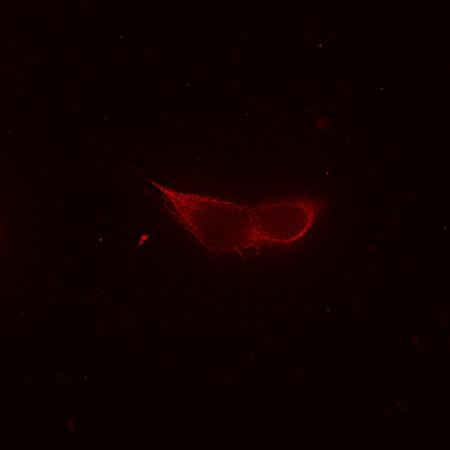 Immunocytochemistry/ Immunofluorescence - Anti-beta IV Tubulin antibody [ONS.1A6] (ab11315)