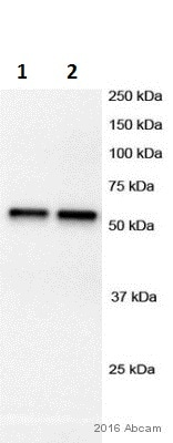 Western blot - Anti-gamma Tubulin antibody (ab11321)