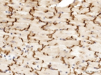 Immunohistochemistry (Formalin/PFA-fixed paraffin-embedded sections) - Anti-Connexin 43 / GJA1 antibody - Intercellular Junction Marker (ab11370)
