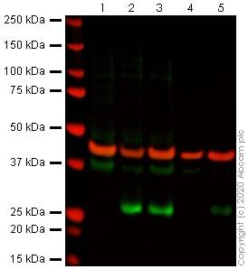 Western blot - Anti-DDIT3 antibody [9C8] (ab11419)