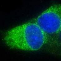Immunocytochemistry/ Immunofluorescence - Anti-ERp29 antibody (ab11420)