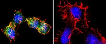 Immunocytochemistry/ Immunofluorescence - Anti-S1P1/EDG1 antibody (ab11424)