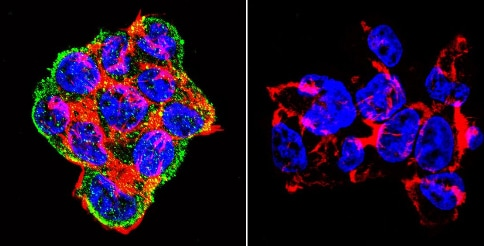 Immunocytochemistry/ Immunofluorescence - Anti-Syntrophin antibody [1351] (ab11425)