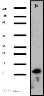 Western blot - Anti-S100 alpha antibody (ab11428)