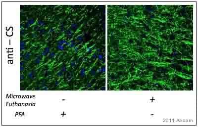 Immunohistochemistry (Formalin/PFA-fixed paraffin-embedded sections) - Anti-Chondroitin Sulfate antibody [CS-56] (ab11570)