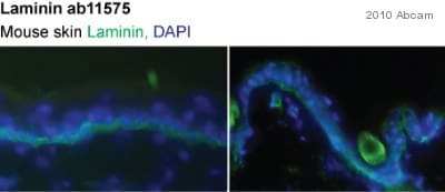 Immunohistochemistry (Frozen sections) - Anti-Laminin antibody (ab11575)
