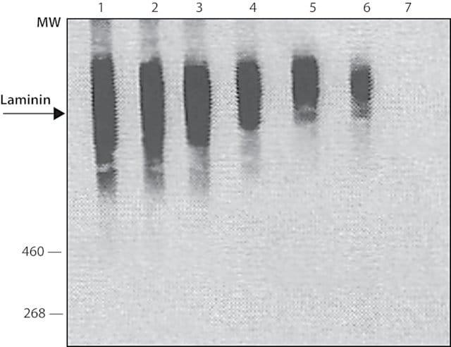 斑点杂交-抗层粘连蛋白抗体(ab11575)