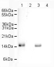 Western blot - Human Histone H2A.Z peptide (ab11681)