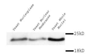 Western blot - Anti-MAD2 antibody (ab11690)