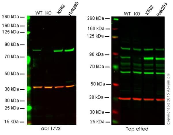 Western blot - Anti-PKC alpha antibody [133] (ab11723)