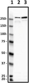 Western blot - Anti-NEAS antibody [D8B7] (ab11755)