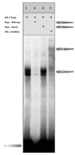 Electrophoretic Mobility Shift Assay - Anti-RUNX3 antibody (ab11905)