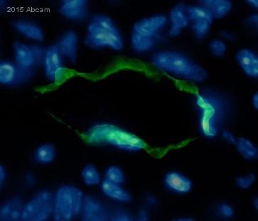 Immunohistochemistry (Frozen sections) - Anti-Podoplanin / gp36 antibody [RTD4E10] (ab11936)