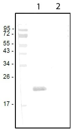 Western blot - Anti-PLGF antibody (ab11938)