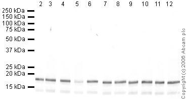 免疫印迹-抗组蛋白H3(双甲基K4)抗体-芯片级(ab11946)