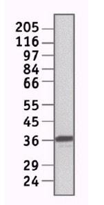 Western blot - Anti-E2F6 antibody [TFE61] (ab11952)