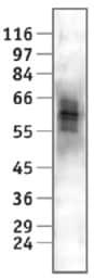 Western blot - Anti-Nab2 antibody [cl.1C4] (ab11987)