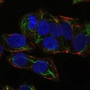 Immunocytochemistry/ Immunofluorescence - Anti-AMPK alpha 1 antibody [2B7] (ab110036)