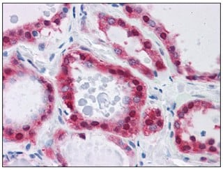 Immunohistochemistry (Formalin/PFA-fixed paraffin-embedded sections) - Anti-Glucose 6 phosphate isomerase antibody (ab110051)