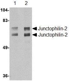 Western blot - Anti-Junctophilin-2 antibody (ab110056)