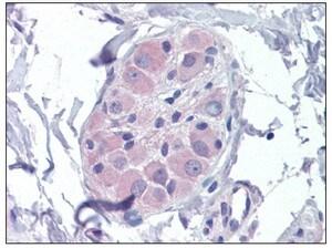 Immunohistochemistry (Formalin/PFA-fixed paraffin-embedded sections) - Anti-AMPK beta 2 antibody (ab110141)