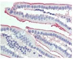 Immunohistochemistry (Formalin/PFA-fixed paraffin-embedded sections) - Anti-intestinal alkaline phosphatase antibody (ab110158)