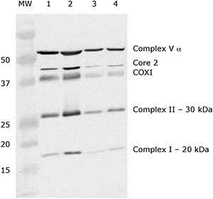 Western blot - Mitochondria Isolation Kit for Tissue (ab110168)