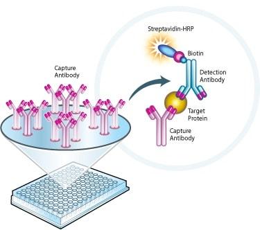 Sandwich ELISA - Cytochrome c Protein Quantity Microplate Assay Kit (ab110172)