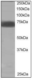 Western blot - Anti-SHP2 antibody (ab110194)
