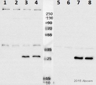 Western blot - Anti-NDUFS3 antibody [3F9DD2] (ab110246)