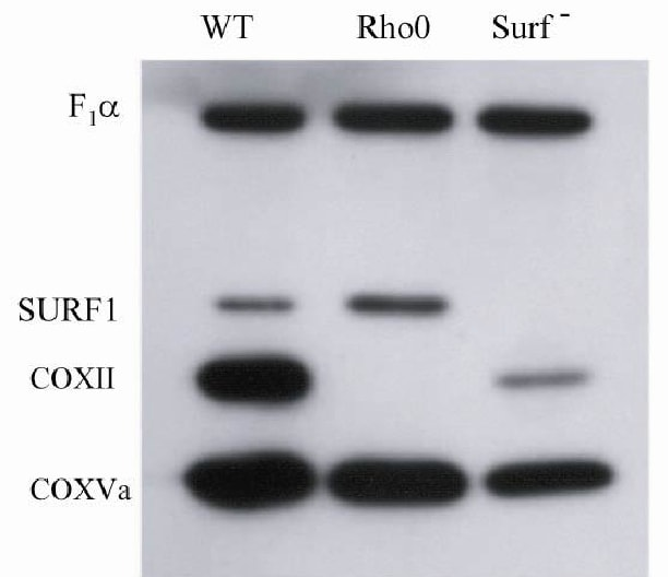 Western blot - Anti-Surf1 antibody [21H2BG4] (ab110256)