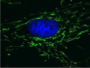 Immunocytochemistry/ Immunofluorescence - Anti-ATP5H antibody [7F9BG1] (ab110275)