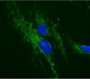 Immunocytochemistry/ Immunofluorescence - Anti-ATP5O antibody [4C11C10D12] (ab110276)