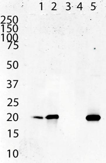 Western blot - Anti-ATP5O antibody [4C11C10D12] (ab110276)