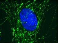 Immunocytochemistry/ Immunofluorescence - Anti-ATP5J antibody [10C6AC9] (ab110279)