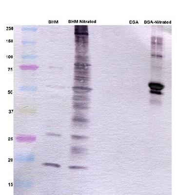 Western blot - Anti-3-Nitrotyrosine antibody [7A12AF6] (ab110282)