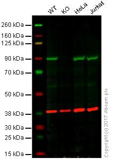Western blot - Anti-Aconitase 2 antibody [6F12BD9] (ab110321)