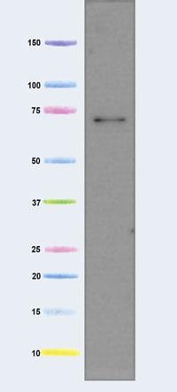 Western blot - Anti-AIF antibody [7F7AB10] (ab110327)