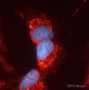 Immunocytochemistry/ Immunofluorescence - Anti-Frataxin antibody [18A5DB1] (ab110328)