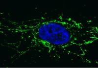 Immunocytochemistry/ Immunofluorescence - Anti-Pyruvate Dehydrogenase E2 antibody [15D3G9C11] (ab110332)