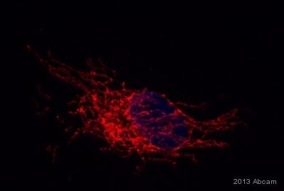 Immunocytochemistry/ Immunofluorescence - Anti-Pyruvate dehydrogenase E2/E3bp antibody [13G2AE2BH5] (ab110333)