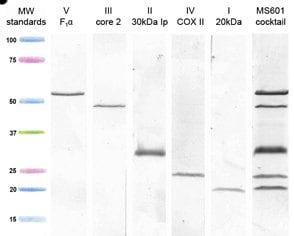 Western blot - MitoProfile® Total OXPHOS Human WB Antibody Cocktail (ab110411)