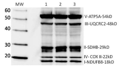 Western Blot Abreview Image