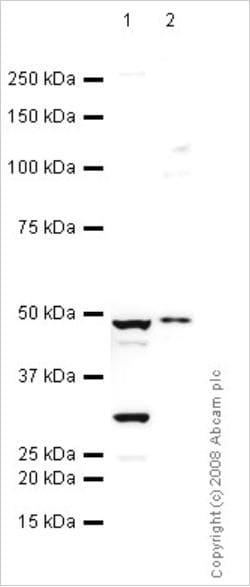 CIII-Core protein 2 (ab14745)