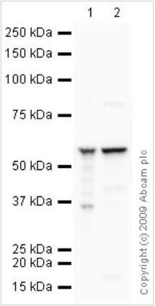 CV alpha subunit (ab14748)