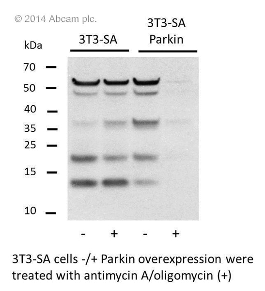Western blot - MitoProfile® Membrane Integrity WB Antibody Cocktail (ab110414)