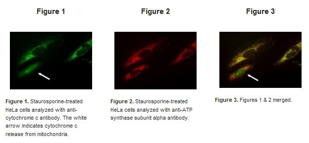 Immunocytochemistry/ Immunofluorescence - ApoTrack™ Cytochrome c Apoptosis ICC Antibody Kit (ab110417)