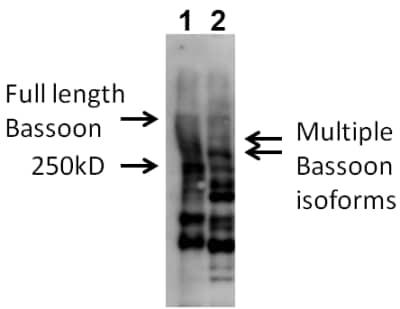 Western blot - Anti-Bassoon/BSN antibody (ab110426)