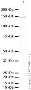 Western blot - Anti-Ceruloplasmin antibody (ab110449)