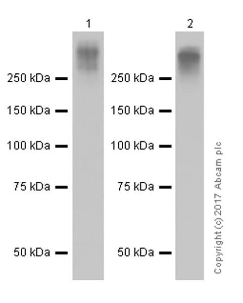 Western blot - Anti-MUC16 antibody [EPR1020(2)] (ab110640)